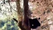 四川绵阳发生4.6级地震 熊猫扔下竹子瞬间上树展现超强求生欲