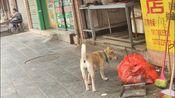 猪肉铺养的大黄狗,它来证明猪肉有没有涨价