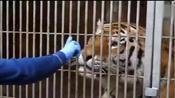 给老虎全面体检抽血,这老虎好乖乖,值得看看