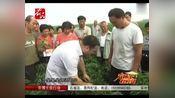 「衡水新闻」衡水冀州的辣椒种的怎么样?9月11金正大示范田