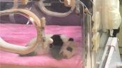 【熊猫】刚出生的熊猫宝宝 成都基地