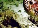 视频: Nautilus - David Attenborough