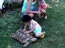 宝宝21个月,downtown new west fest 的小动物园摸乌龟