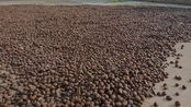 湖南常德,2000斤茶果才收获300斤茶籽,茶油卖100元不贵
