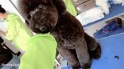 上海狗狗美容培训学习去哪学习比较好_「上海圣宠宠物美容学校」