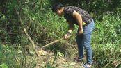 三哥发现一棵野生葛根,想挖来讨好老婆大人,几锄下去就不敢挖了